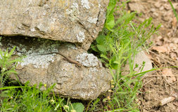 Wall Lizard on a rock Stock Image