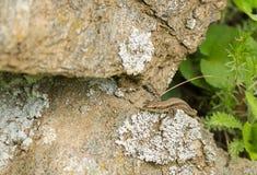 Wall Lizard on a rock Stock Image