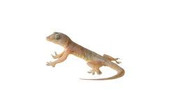 Wall-lizard Stock Photography