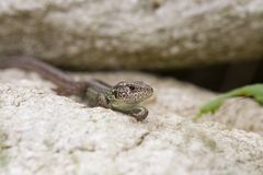 Wall lizard sitting on a rock Stock Image