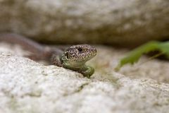 Wall lizard sitting on a rock Stock Photos
