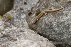 Wall lizard sitting on rocks Stock Images