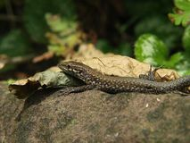 Wall lizard on a stone in nature stock images