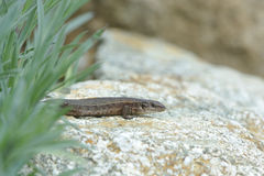 Wall lizard Stock Photos