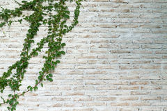 The wall is made of brick and then painted in white. There are creepers on the left wall. Stock Photography
