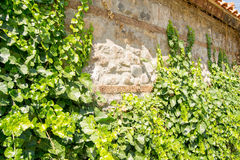 Wall made of bricks covered with green ivy Stock Images