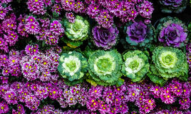 A wall made of colorful flowers and cabbage. A wall made of colorful flowers and cabbage at garden in Chiangmai,Thailand Stock Image