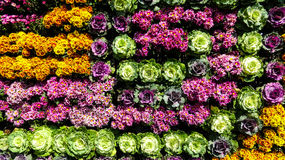 A wall made of colorful flowers and cabbage. A wall made of colorful flowers and cabbage at garden in Chiangmai,Thailand Stock Photos