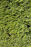 Wall made of green leaves Stock Photos