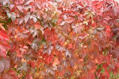 Wall of maiden grapes the red leaves stock images