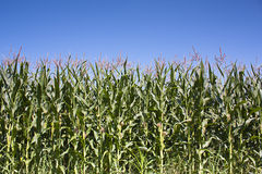 Wall of Maize Stock Images