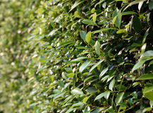 Wall of mok leaf background Stock Photos