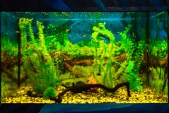 Wall mounted aquarium with tropical fish. And algae stock photography