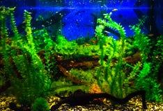Wall mounted aquarium with tropical fish. And algae stock photos
