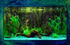 Wall mounted aquarium with tropical fish. And algae royalty free stock photo