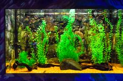 Wall mounted aquarium with tropical fish. And algae stock photo