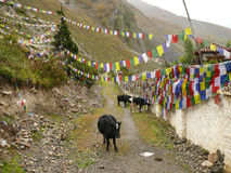 Wall of Muktinath temple and little cows, Nepal Royalty Free Stock Photography