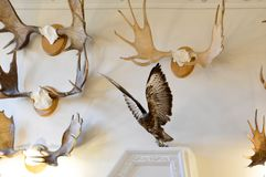 Wall with natural hunting trophies, stuffed animals and birds, h stock photography
