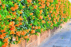 Wall of Orange trumpet flower Royalty Free Stock Photography