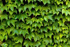Wall overgrown, ancient brick wall, background, texture,old dilapidated brick wall overgrown with grass. Royalty Free Stock Photos