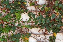 Wall overgrown with ivy Royalty Free Stock Photography