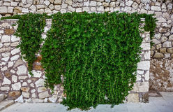Wall overgrown with ivy Stock Images