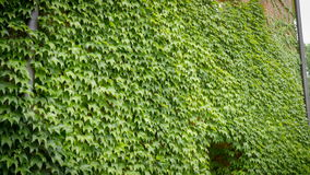 Wall overgrown with ivy with window on a windy day. Wall overgrown with ivy on a windy day stock footage