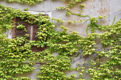 Wall overgrown with wine Royalty Free Stock Image