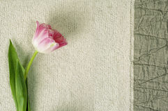 Wall-paper with a tulip Stock Photos