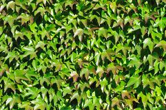 Wall perfectly covered by colorful Boston ivy Royalty Free Stock Photo
