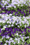 Wall Petunias Royalty Free Stock Images