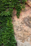 The wall with the plant. Royalty Free Stock Image