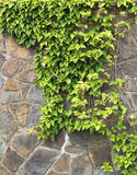 Wall with plant. Stone wall with climbing plant Stock Photography