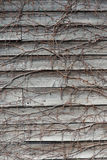 Wall plate of wood entangled with ivy Royalty Free Stock Photos