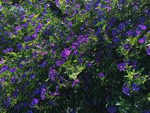 Purple Flowers. A Wall Of Purple Flowers stock images