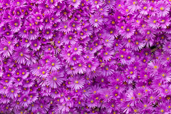 Wall of Purple Flowers. A full frame image of hundreds of purple flowers clustered together Stock Image