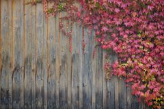 Wall. Red creeper leaves on wooden wall Royalty Free Stock Photos