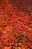 Wall of red ivy in autumn. Wall covered in red ivy in autumn (fall), Cambridge, England stock images