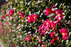 Wall of Red Japanese Camellias in January Royalty Free Stock Photo