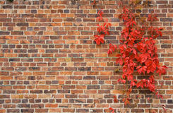 Wall with red leaves Royalty Free Stock Photos
