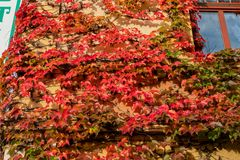 Wall of red leaves. At Lake Bled, Slovenia royalty free stock photo