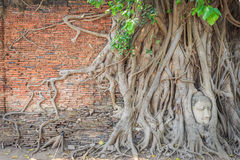Wall with root cover the head of buddha statue Royalty Free Stock Image