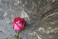 Wall and Rose stock photography