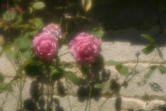 Wall&roses. Wild roses on sandstone wall in soft focus Stock Photography