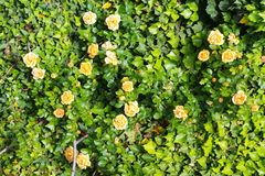 Wall of roses Stock Photo