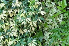 Wall of Schefflera Actinophylla, Ferns and Climbing Plants Stock Image