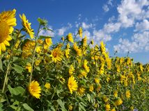 A Wall of Sunflowers. Sunflowers against a clear sky Royalty Free Stock Photos