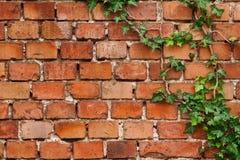 Wall texture. Old brick wall texture with creep Stock Photos