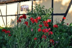 Wall of a Timbered Farmhouse. Yellow timbered wall of a Danish Farmhouse with poppies in the foreground on the island of Sealand of Denmark Stock Image