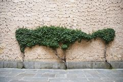 Wall tree Royalty Free Stock Photo